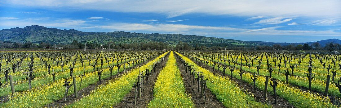 Flowering charlock in spring, Napa Valley, California, USA