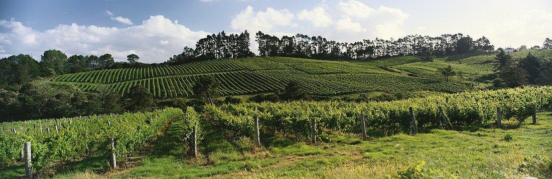 Vineyard of Sapich Estate, Henderson, Auckland, N. Zealand