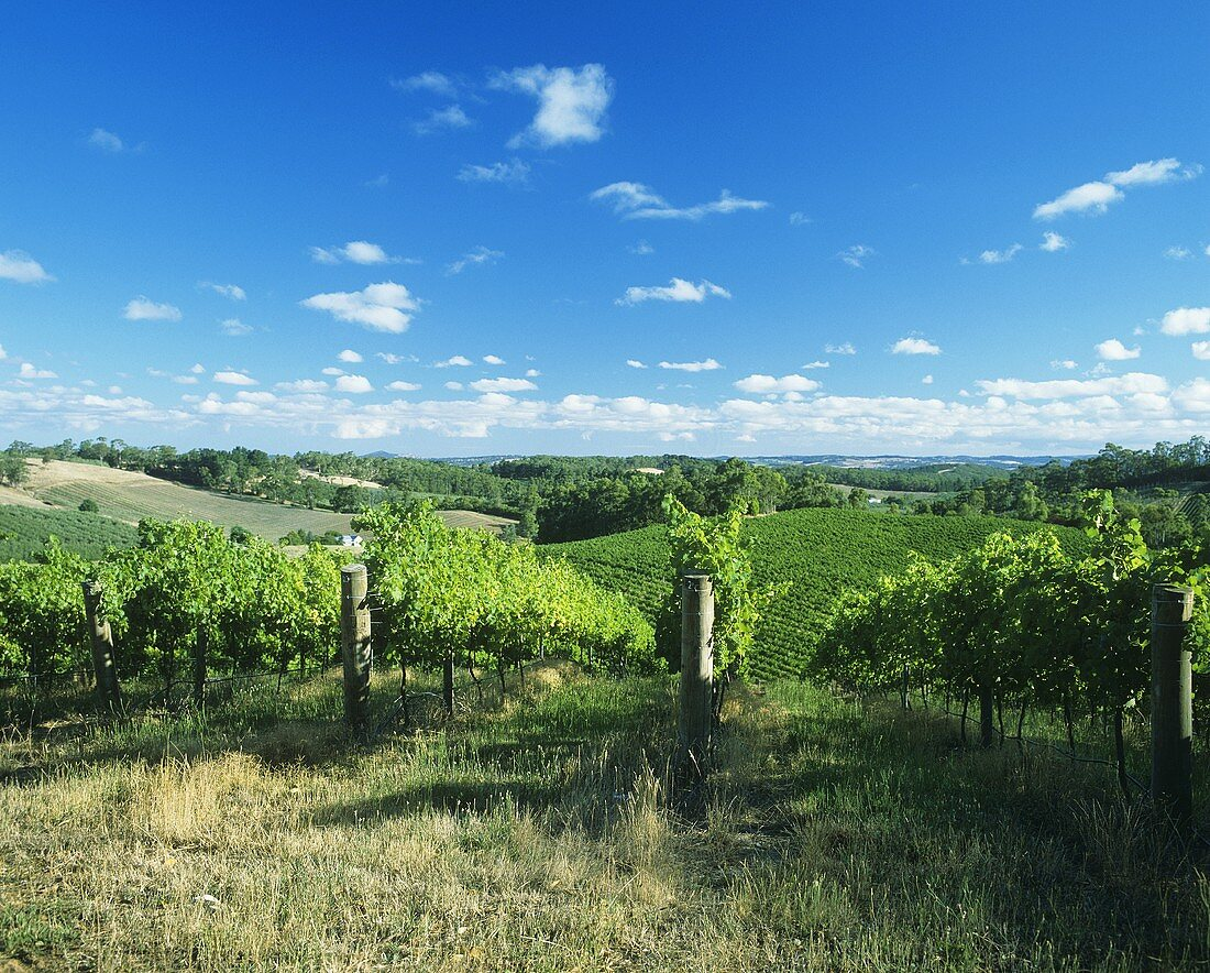 Weinbau in den Adelaide Hills, Australien