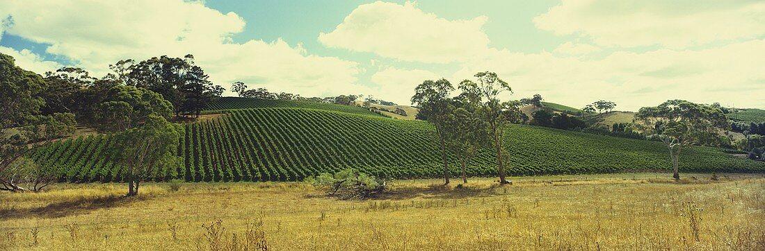 Vineyard near Piccadilly, Adelaide Hills, Australia