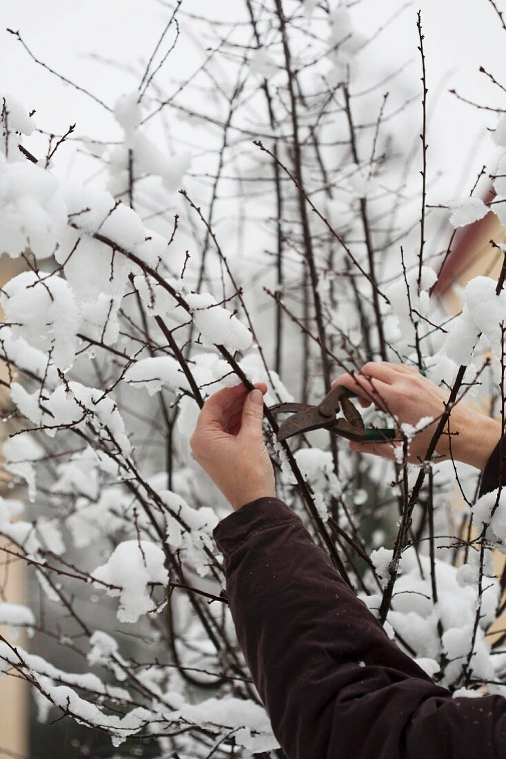 A twig being cut for St. Barbara's day