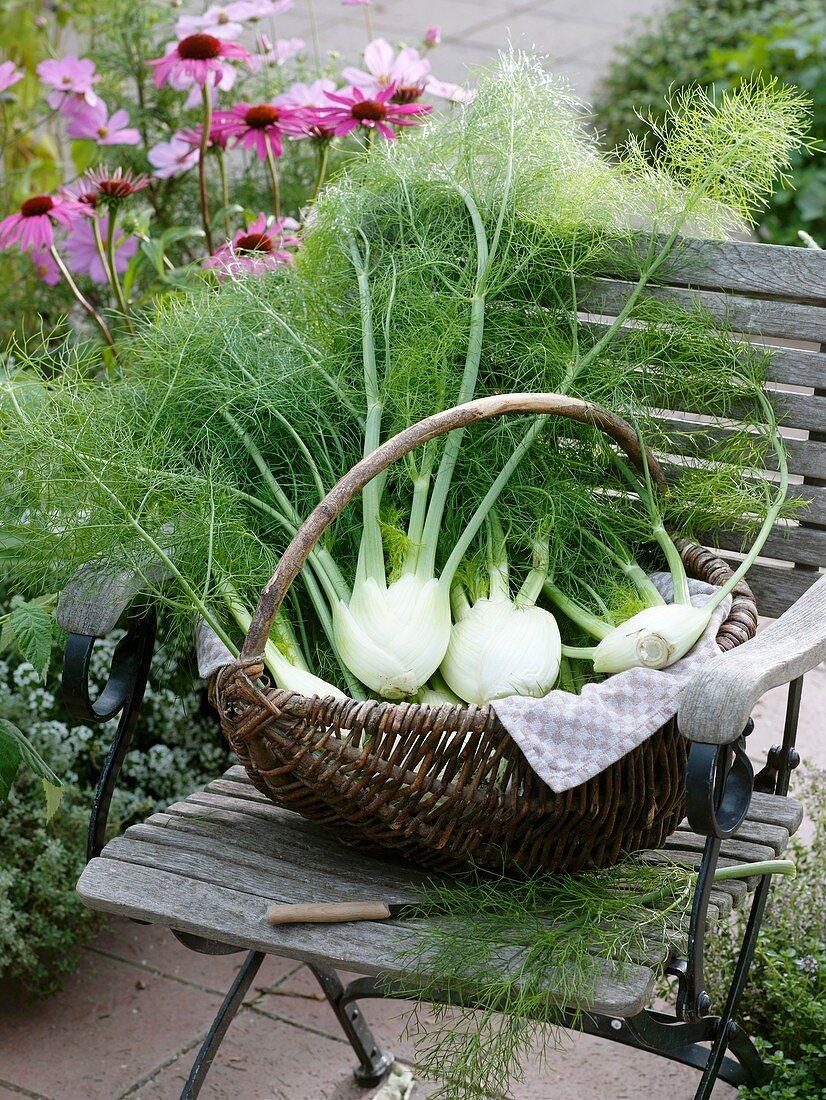 Fresh fennel bulbs in wicker basket on garden chair