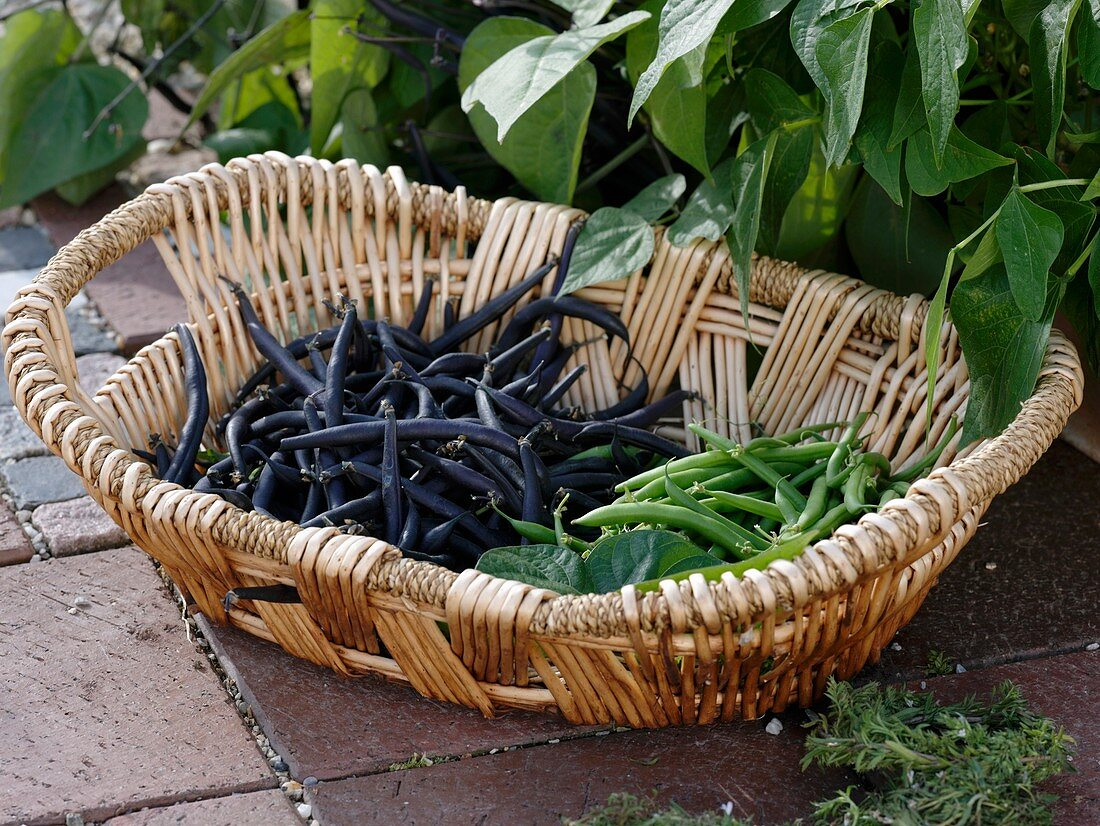 Dwarf French beans (varieties 'Purple Teepee' and 'Sixta') in basket