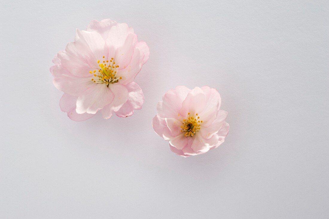 Ornamental cherry (Prunus sargentii 'Accolade'), individual blossoms