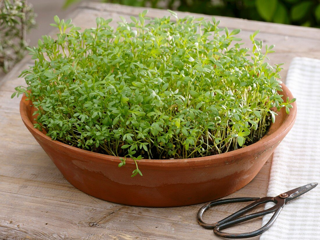 Cress in terracotta dish, herb scissors