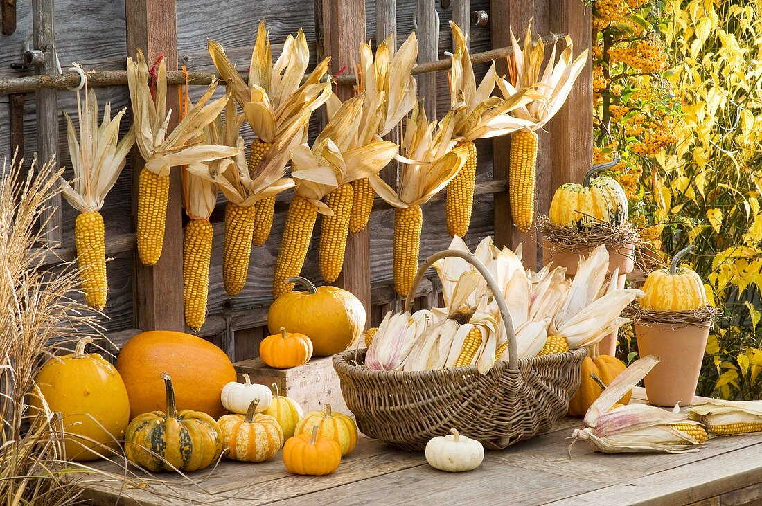 Cobs of corn in wicker basket and hanging up, pumpkins