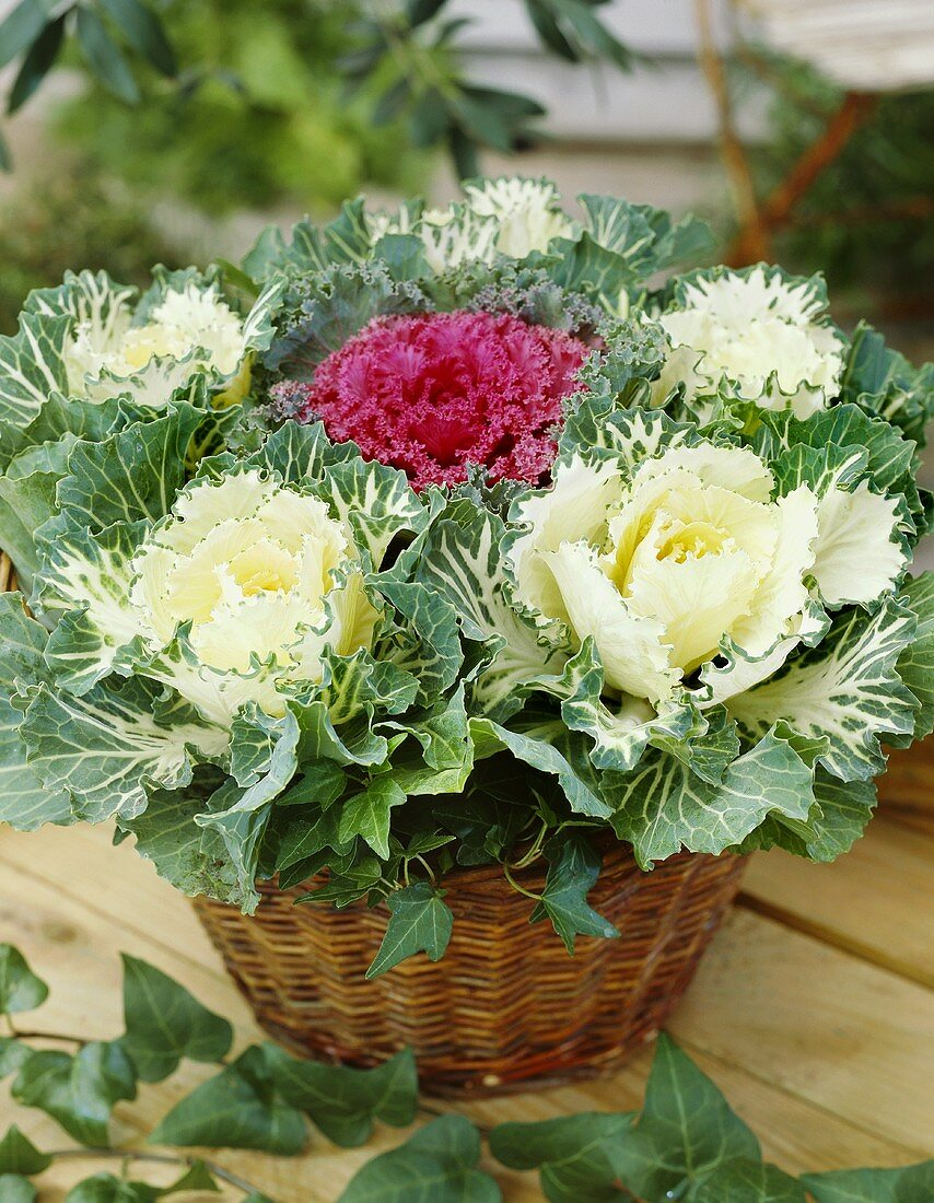 Ornamental cabbages in basket