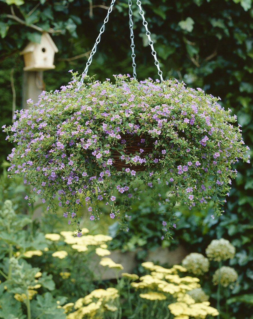 Purple Ornamental Bacopa