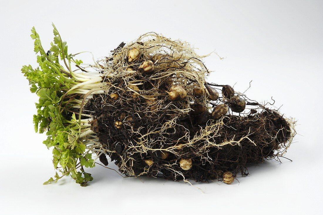 Pig nuts (Bunium bulbocastanum) on the root