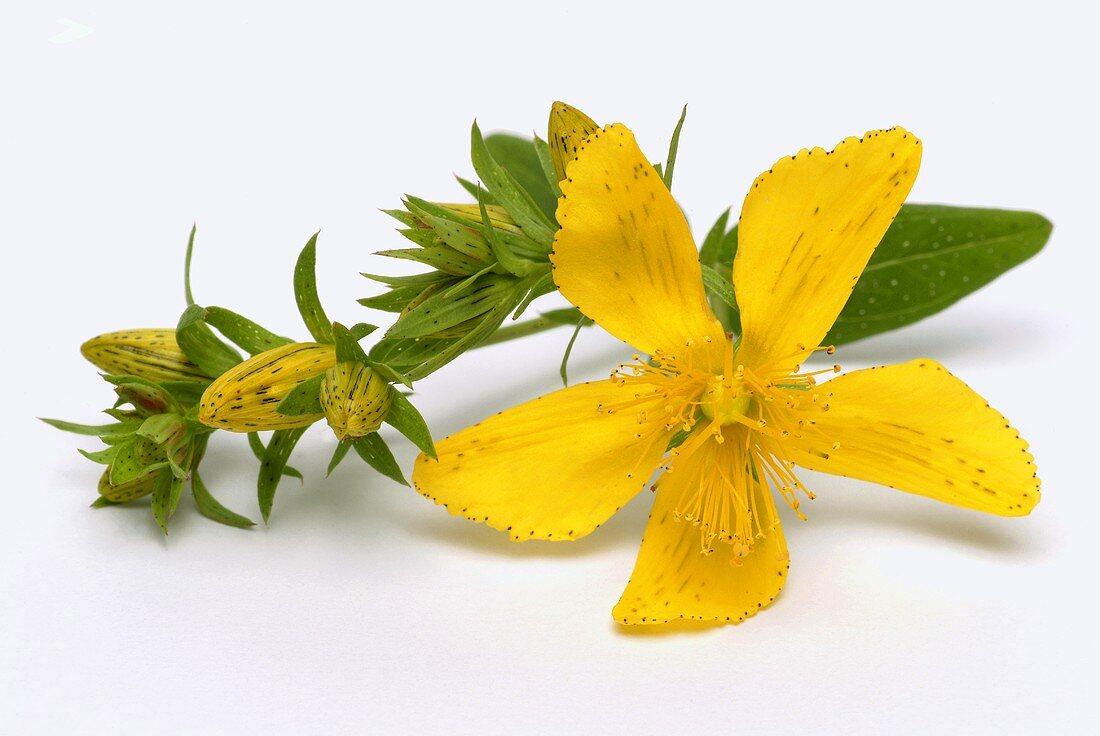 A St. John's wort flower
