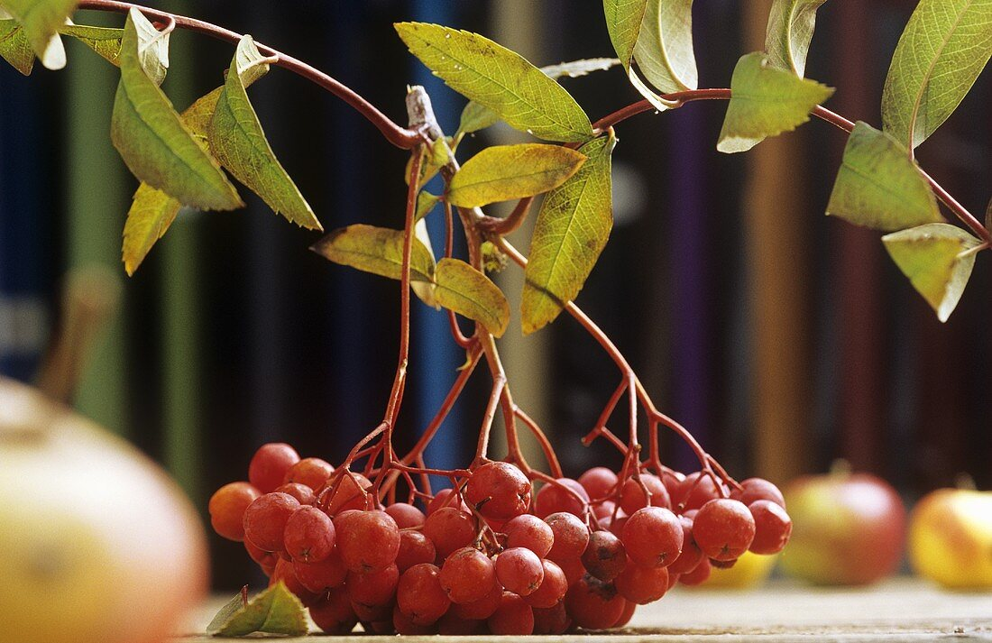 A cluster of rowan berries (Mountain ash)