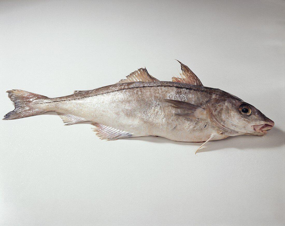 Haddock (Melanogrammus aeglefinus)