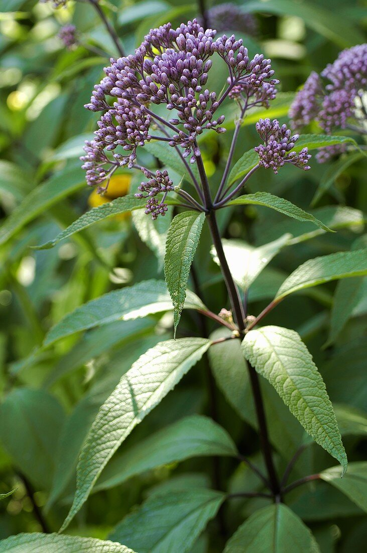 Joe Pye weed (Eupatorium purpureum)