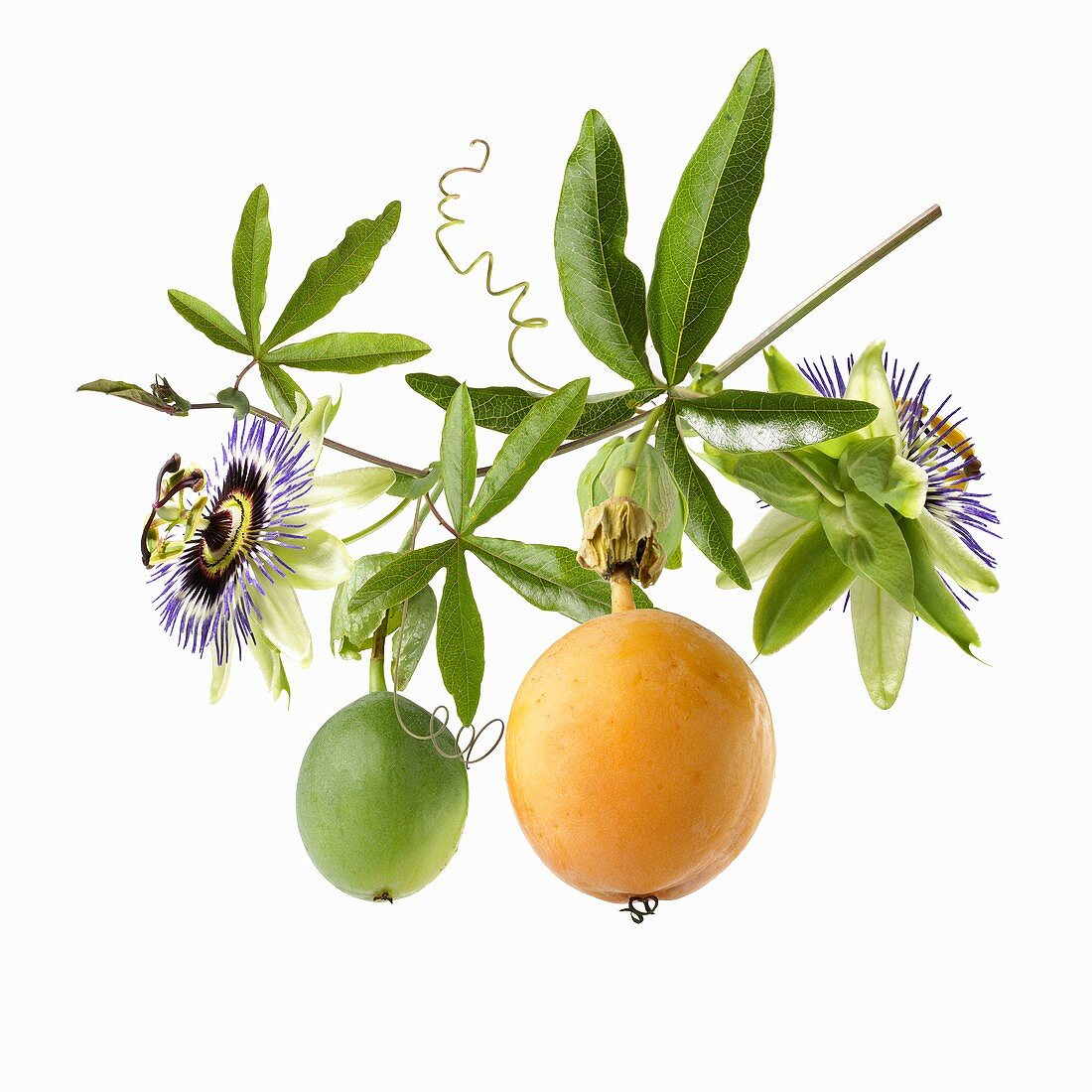Two passion fruits and flowers on a stalk