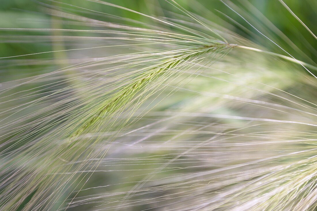 Barley field with long ears of barley
