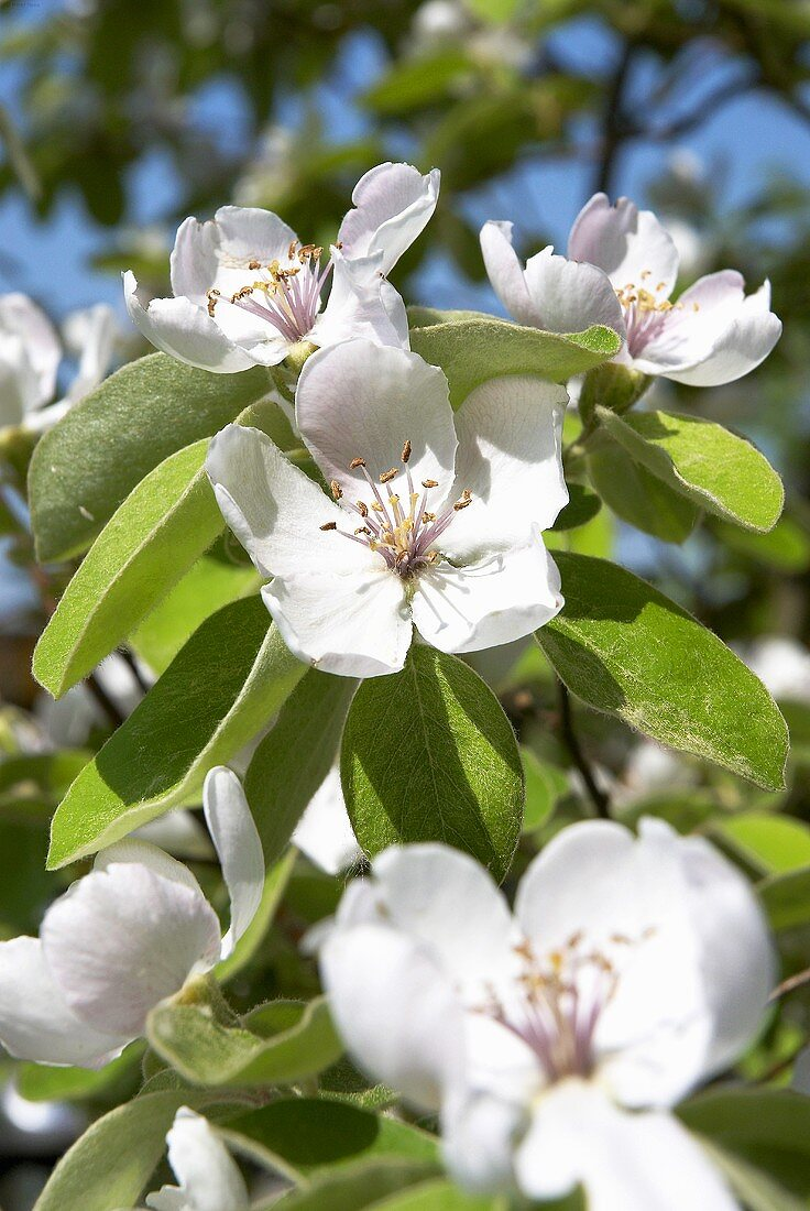 Quince blossom on the tree