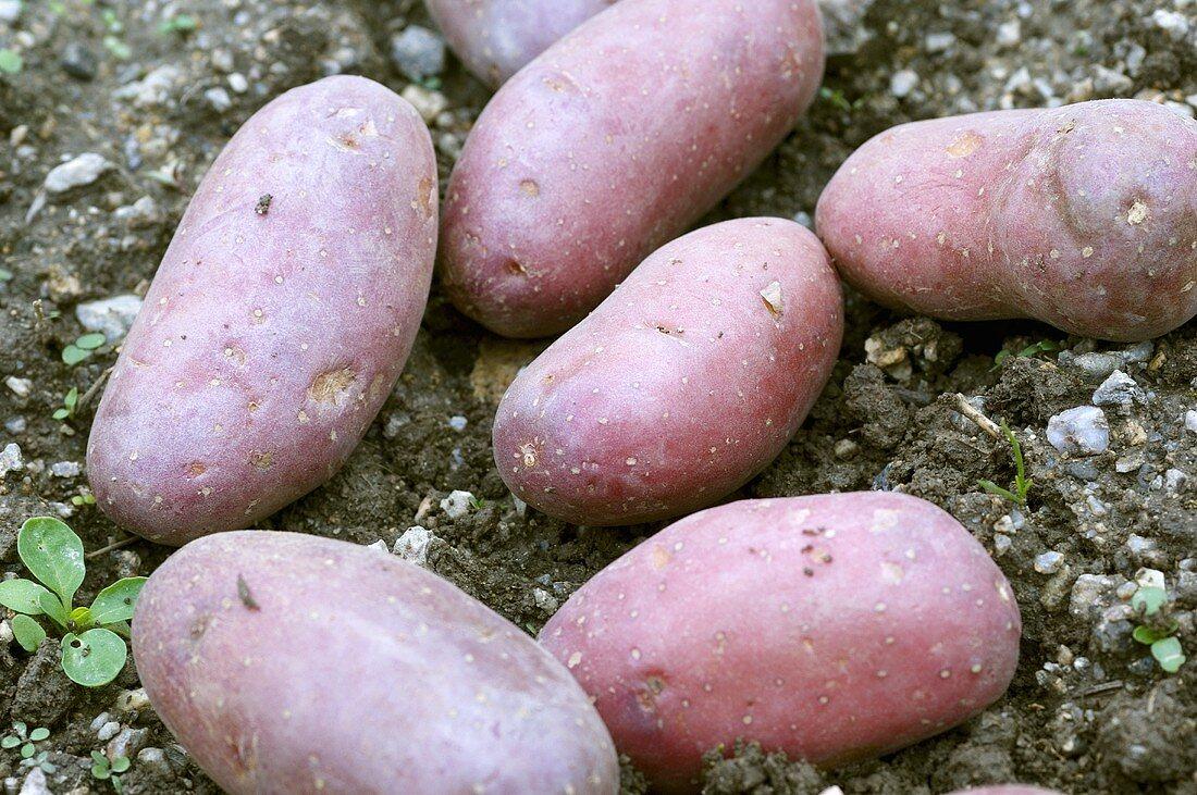 'Vitelotte', a purple potato variety