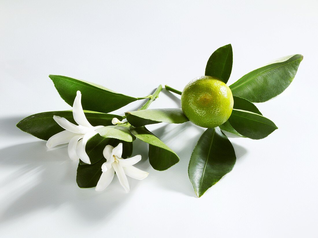 A lime with leaves and blossom