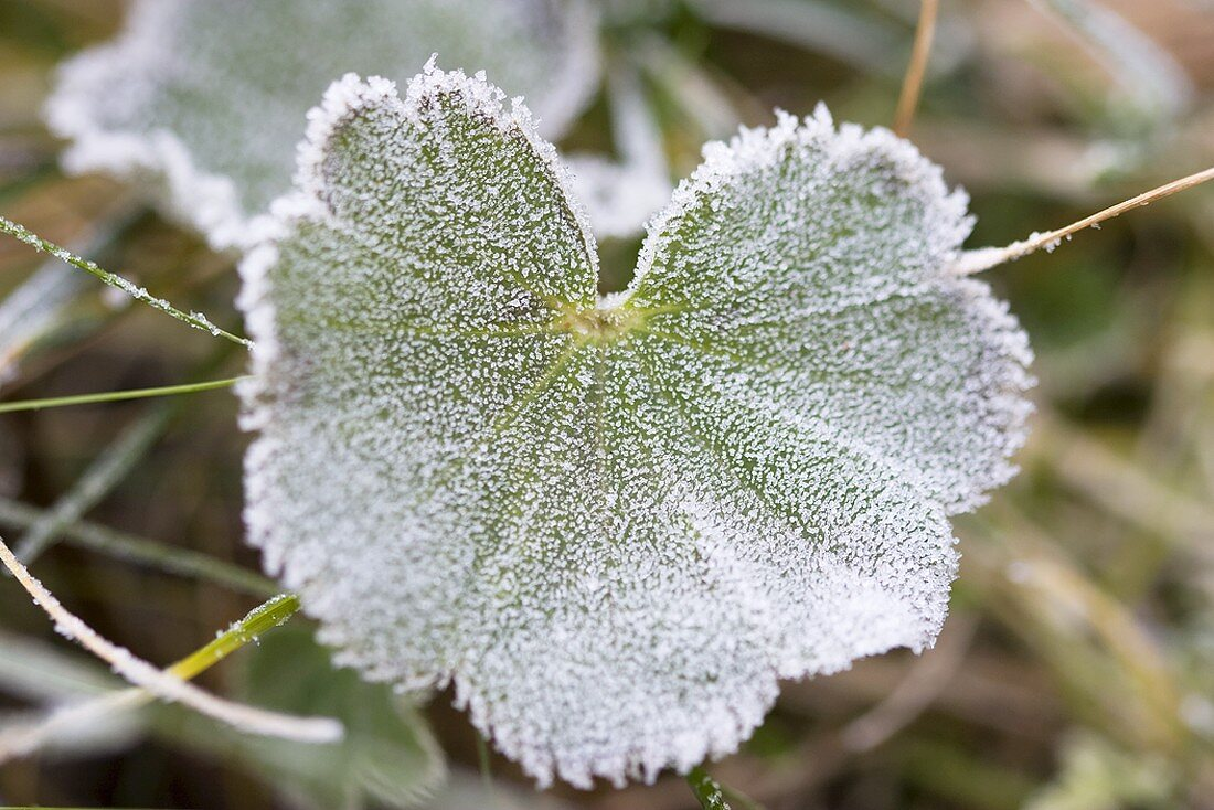 Lady's mantle leaf with hoar frost