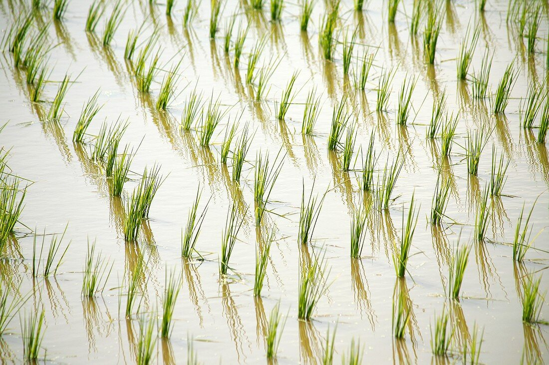 Rice plants growing in the field