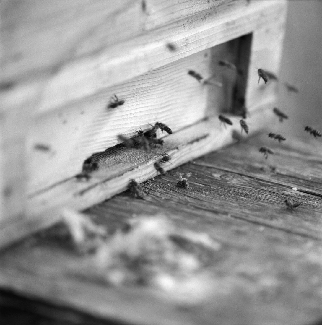 Hard-working bees outside a beehive