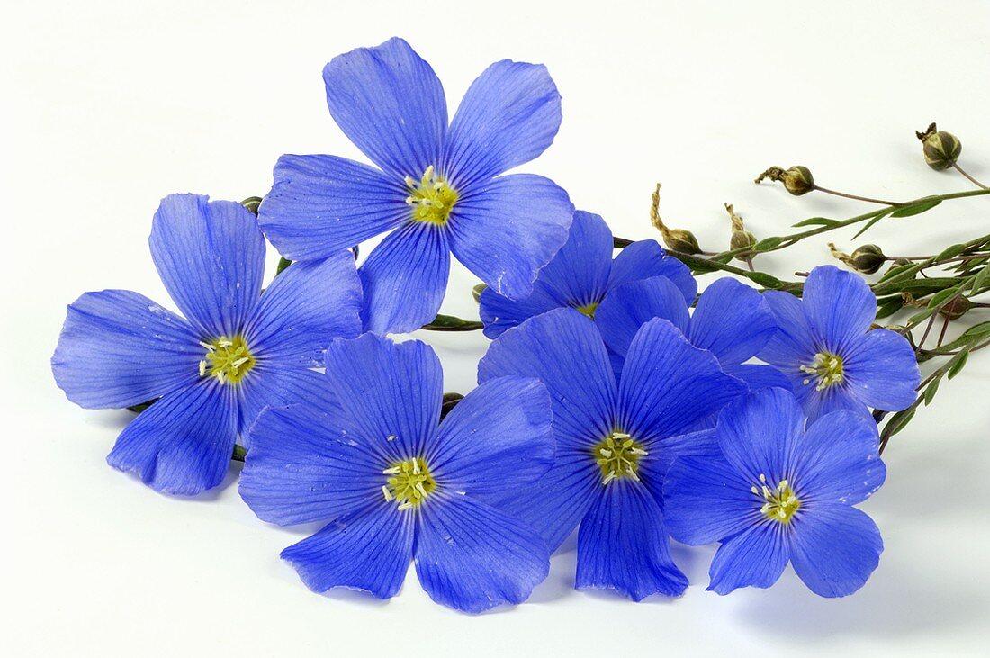 Perennial flax flowers (Linum perenne)