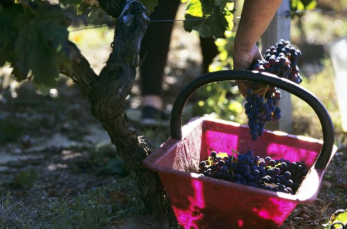 Picking Merlot grapes, Château Bouscaut, Bordeaux, France