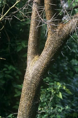 Baumstamm eines Gummiarabicum (Acacia arabica wild)