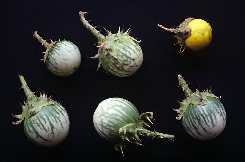 Thai aubergines (Solanum xanthocarpum), medicinal plant & vegetable
