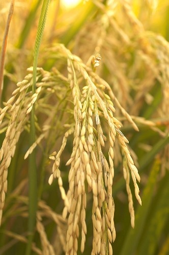 Rice Grains on Plant in Southeast Missouri