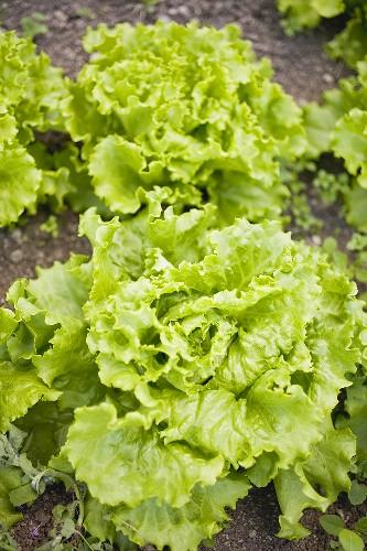 Lettuce in a vegetable bed