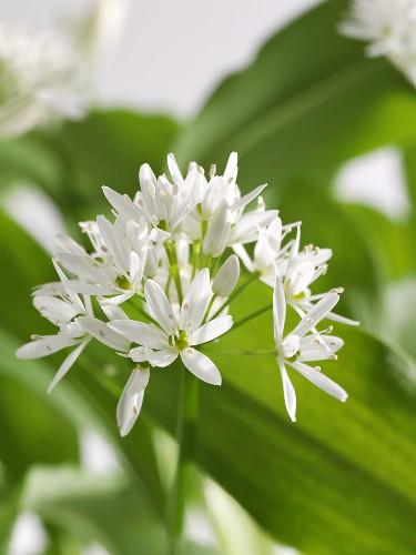 Ramsons (wild garlic) flower
