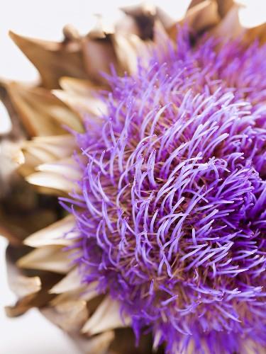 Artichoke flower (close-up)