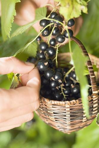 Hands picking blackcurrants