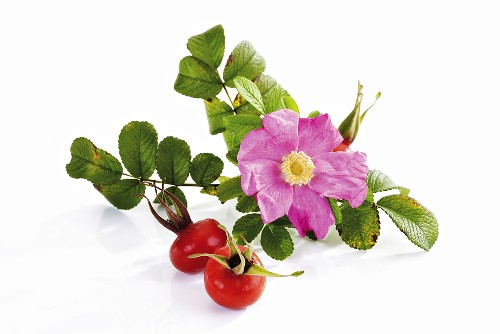 Wild rose and rose hips