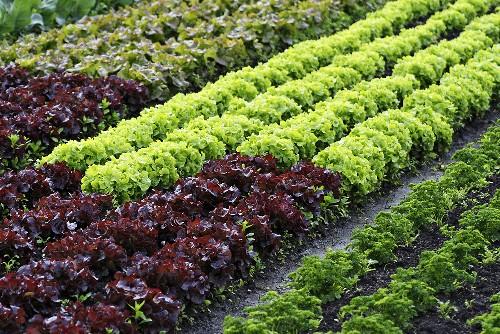 Field of leaf salad