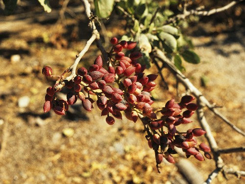 A sprig from a pistachio tree