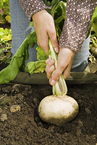 A woman pulling up a turnip