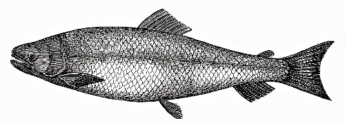 Salmon (Illustration)