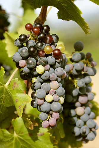 Veraison (ripening process, grapes changing colour)