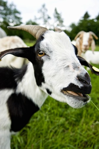 Goat with black and white markings