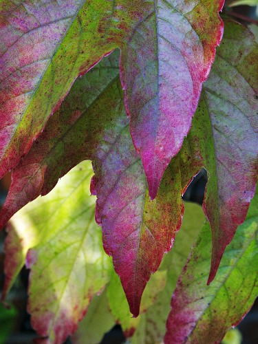 Vine leaves in their autumn colours (close-up)