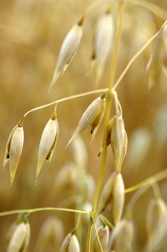 Ear of oats in an oat field