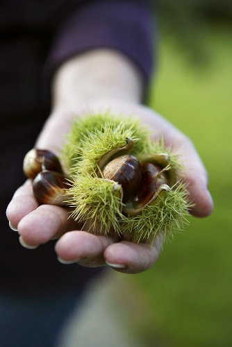 Hand holding fresh sweet chestnuts