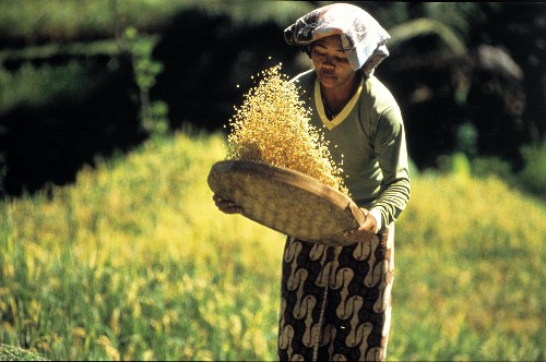 Woman Sorting Out Rice in a Field