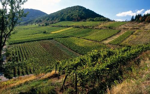 Weinlandschaft in der Pfalz, Kastanienbusch