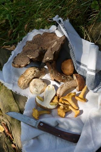 Wild mushrooms on a torn tea towel
