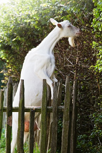 White goat next to wooden fence