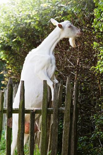 weiße Ziege an einem Holzzaun