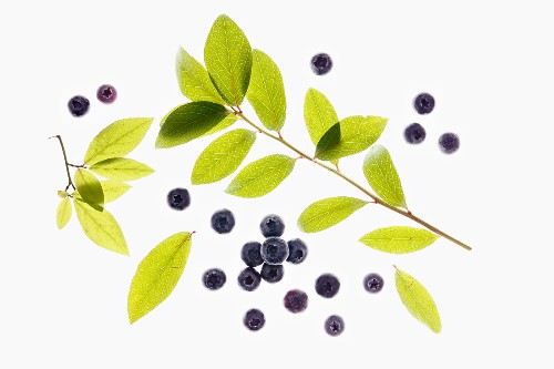 Elderberries and twig
